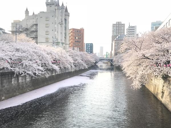 お花見🌸桜見
