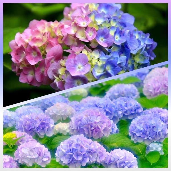 紫陽花の本当の真花とは?