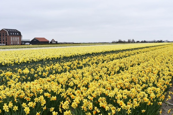 オランダの美しい水仙畑へ Daffodils field